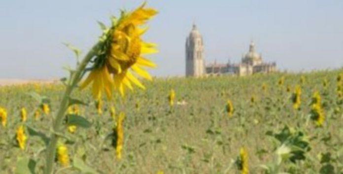 Un campo de girasoles en las proximidades de la ciudad de Segoviam