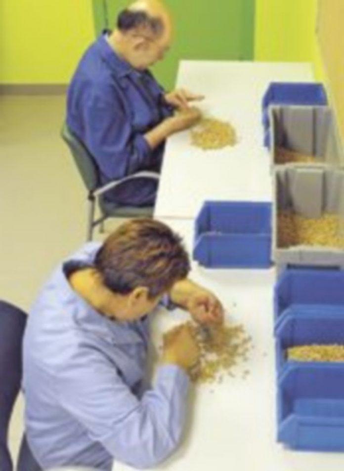 Usuarios realizando labores de selección de legumbres./El Adelantado