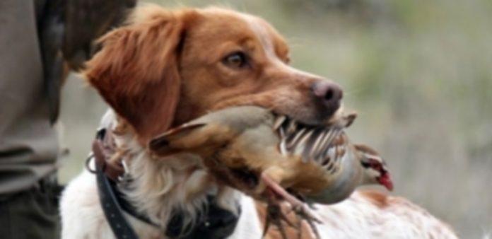 Un perro de caza con su presa en la boca