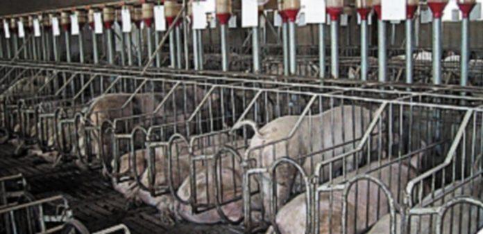 Interior de una granja de cerdos dedicada a la producción de cochinillos. / El Adelantado