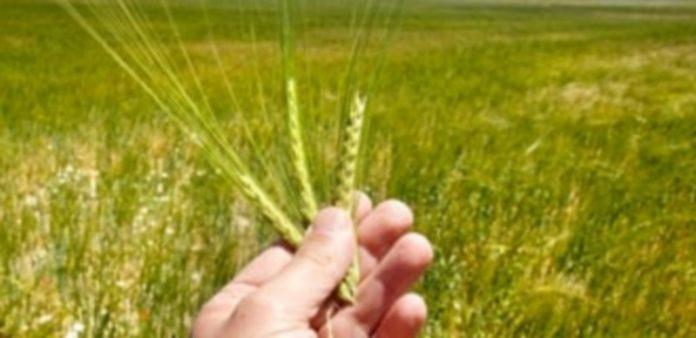 Las fincas de cereal presentan un buen aspecto y eso ha hecho que suban las expectativas de cosecha