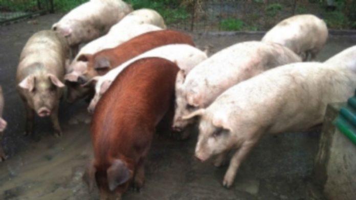 El sector del porcino mantiene precios ajustados