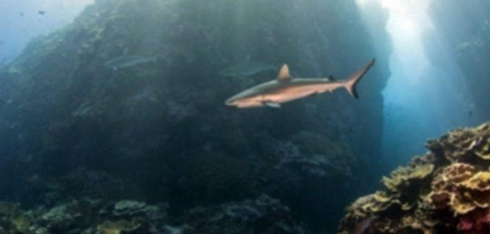 Un tiburón nada junto a otros escualos en busca de comida junto a un arrecife que roza la superficie del agua. / Europa Press