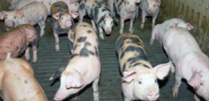 Los precios del porcino han logrado niveles aceptables tras haber permanecido varios meses en crisis. / El Adelantado
