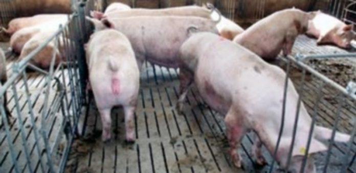 La mesa del porcino anotó ayer subidas de precios en todas las categorías del porcino ante el aumento de las ventas