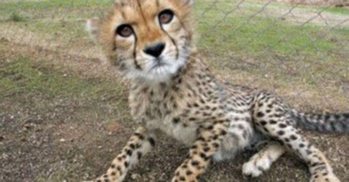 El guepardo era una de las especies que vendían los delincuentes. / Yolanda Redondo