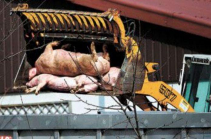 La peste porcina había afectado hasta ahora a los propios cerdos