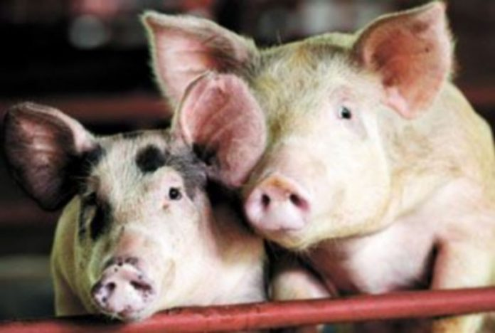 Varios países han vetado las importaciones de carne de cerdo por temor a posibles contagios de gripe A. / BARBARA WALTON