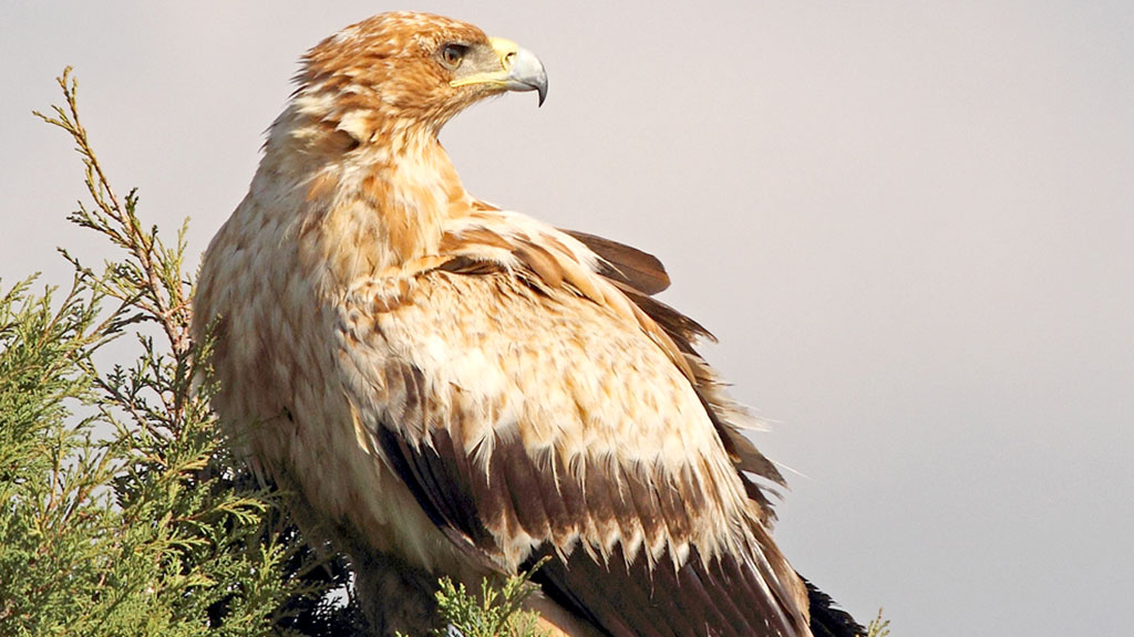 Ejemplar de águila imperial no adulta. / Juan Matute - Vultour Naturaleza