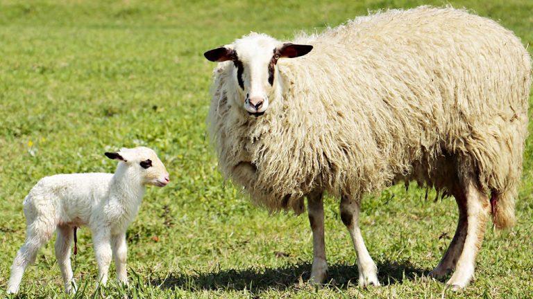 Uccl pide en las Cortes un coste de producción oficial para la leche de ovino