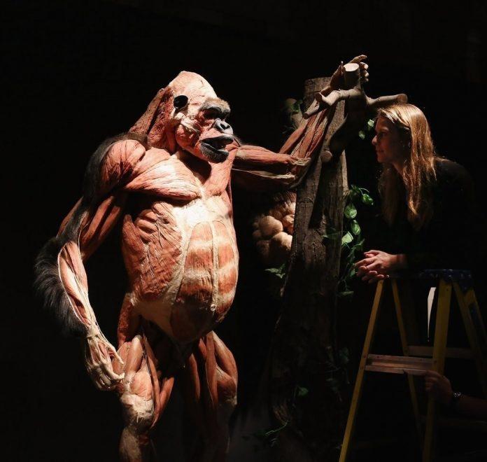 Ejemplar de un gorila que está expuesto en la muestra 'Animal Inside Out', en Sevilla