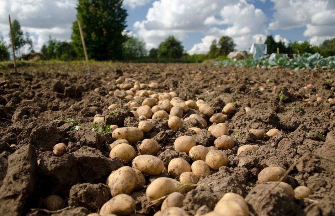 Imagen de cultivo de papatas en Castilla y León.