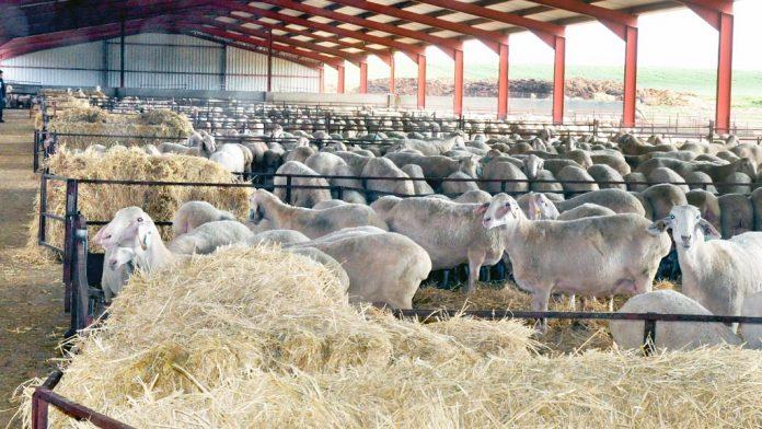 Anaya-ovino-ovejas-Torreanaya-exportacion-iran