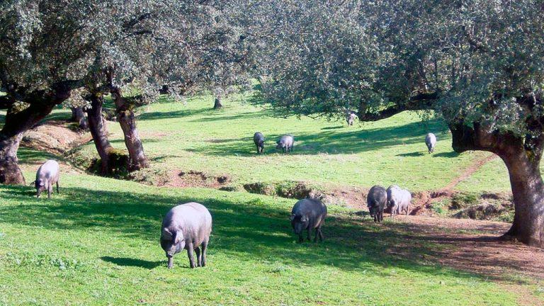 La UE ve riesgo de peste porcina africana en las granjas al aire libre