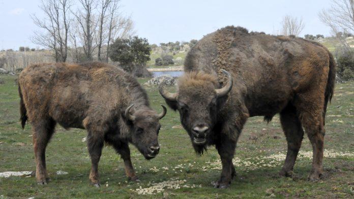 4_1-bisontes