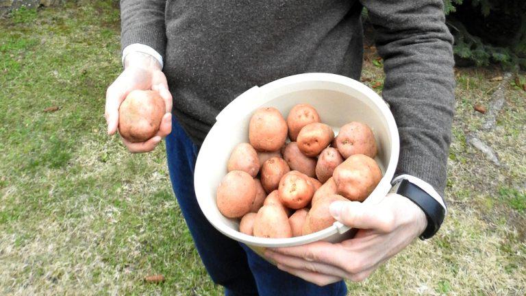Vuelve la patata de Riofrío de Riaza