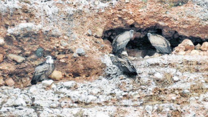 El Refugio de Montejo tiene una de las mayores colonias de buitres de Europa. / elías gomis