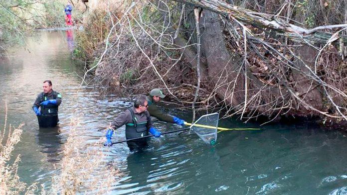 Agentes medioambientales de la Junta, durante los trabajos llevados a cabo en el río Riaza. / el adelantado