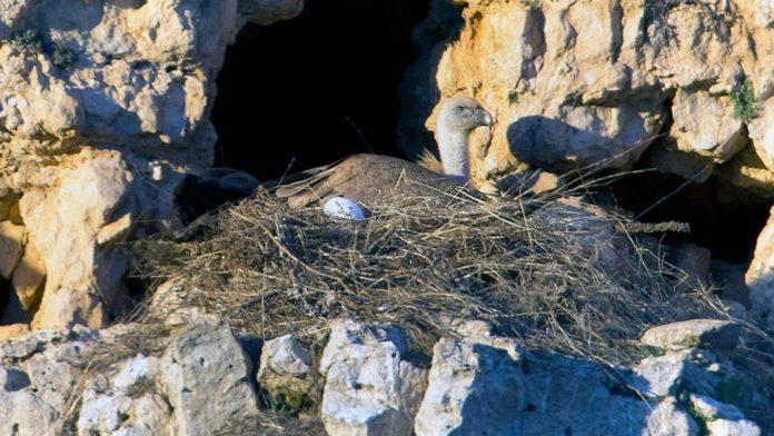 Imagen del nido hallado en las hoces del río San Juan de Sebúlcor. / EL ADELANTADO