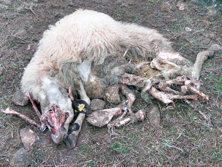 Un pastor denuncia la muerte de diez ovejas en un ataque de buitres en Castrillo de Sepúlveda