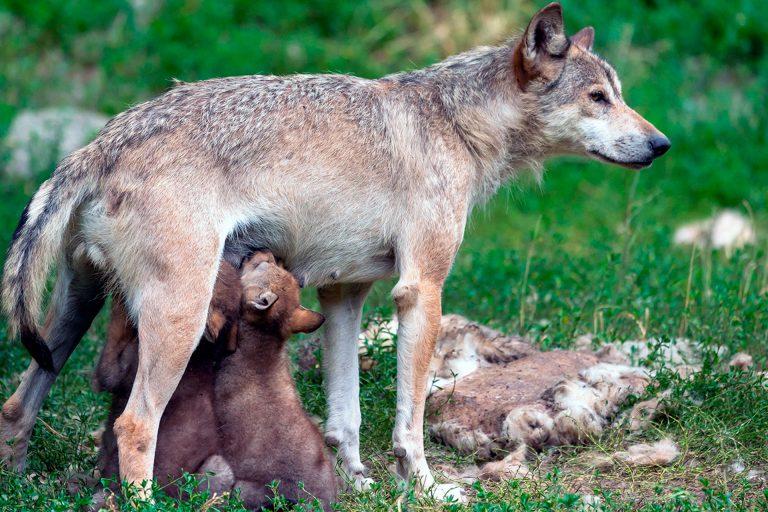 Los lobos provocaron 465 ataques al ganado el año pasado en Segovia
