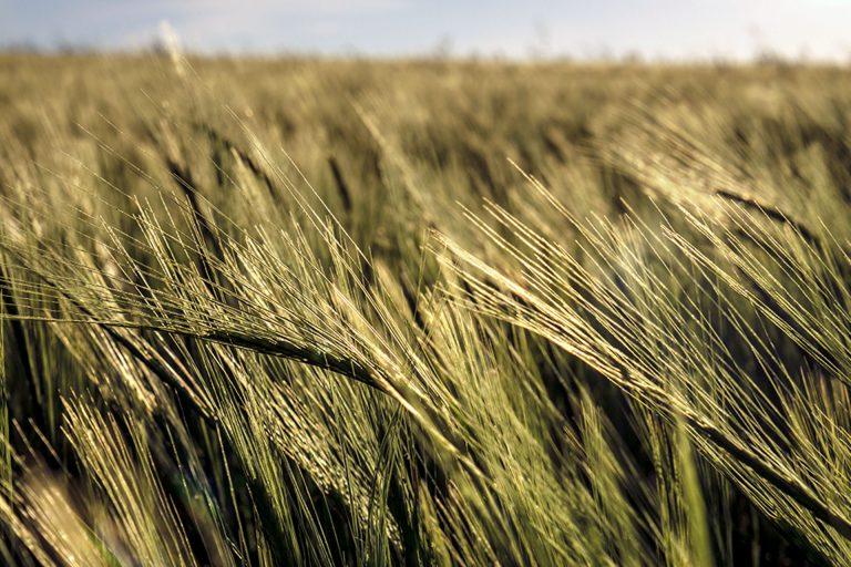 La nueva campaña de cereales superará la de un año normal