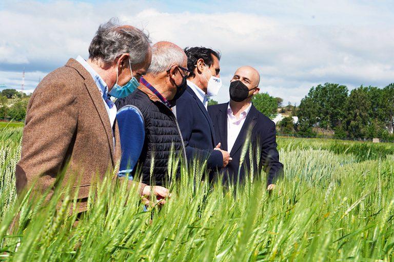 El Itacyl ensaya con variedades de trigo para mejorar la semilla