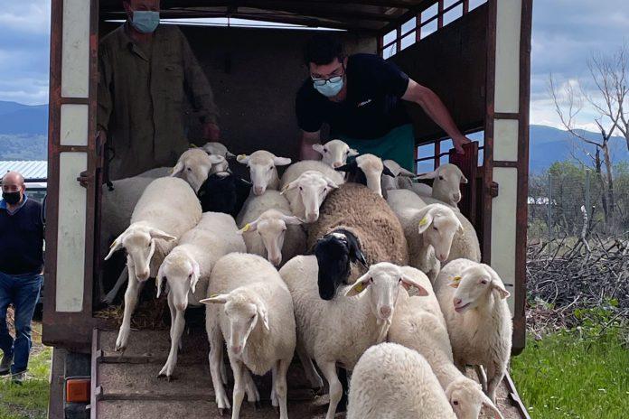 tresacasas ovejas esquileo