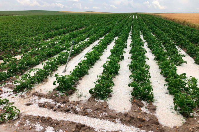 granizo cultivo