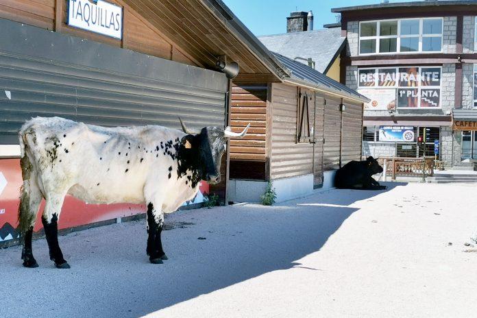 puerto navacerrada vaca