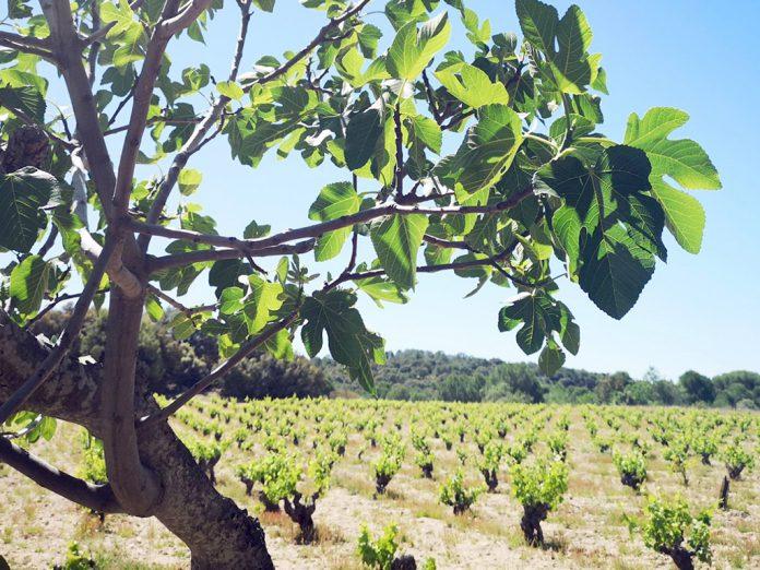 Vista de los viñedos incorporados al grupo. / EL ADELANTADO