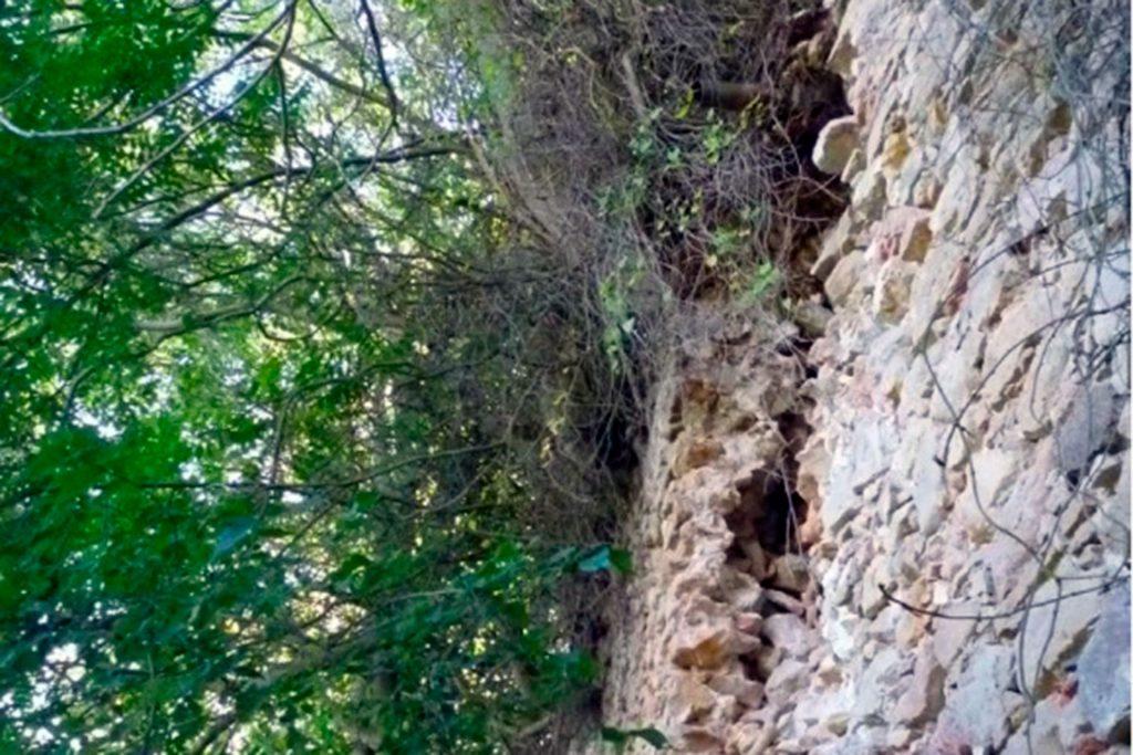 raices de aliantos en el muro de la Muralla
