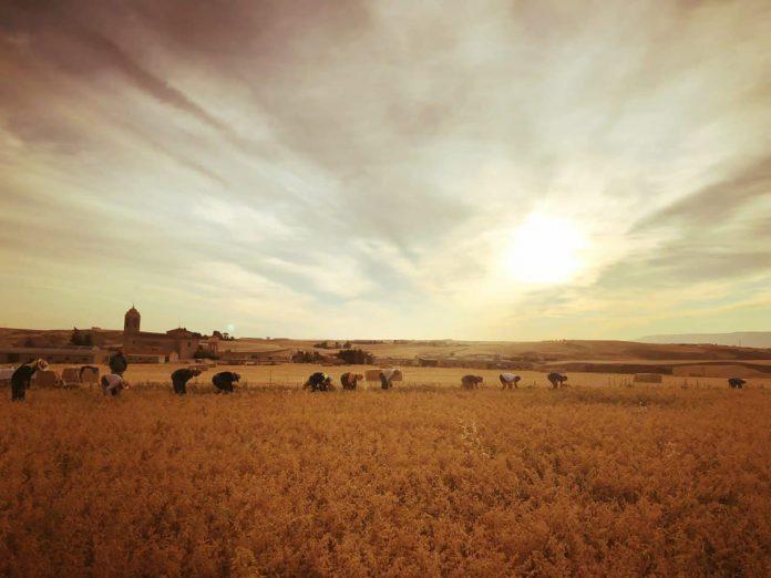 tierra cosecha garbanzos valseca